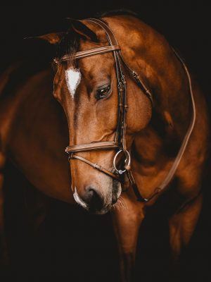 French Noseband Bridle